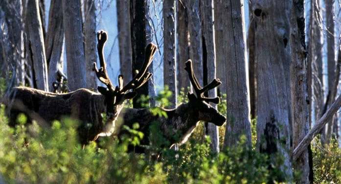 How changing boreal forests could affect caribou